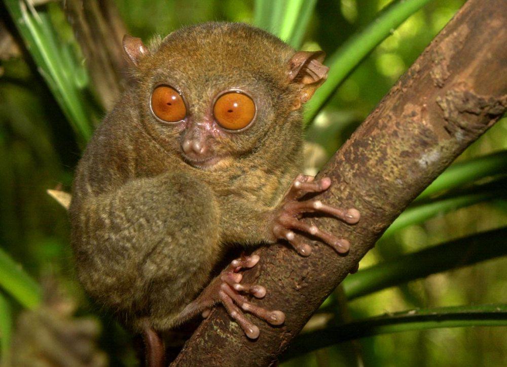 眼镜猴为受保护的动物,并且禁止猎捕.